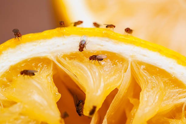 Fruit flies on squeezed lemon slice; see other similar images: