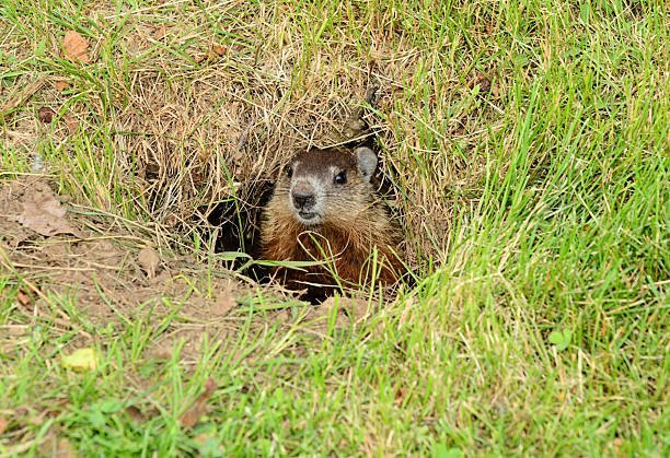 Baby Groundhog peaking out of its den early summer.