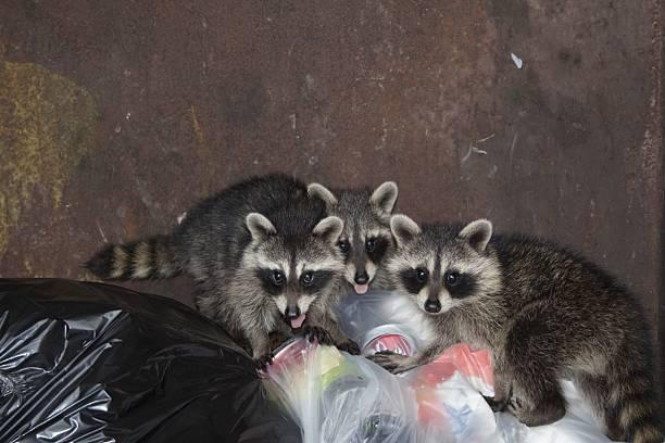 raccoons-control-lakewood
